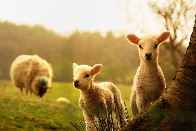 two lambs in foreground next to tree with out of focus sheep in background.
